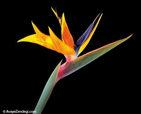 فوتو فنهای نگهداری از گل بهشتی در آپارتمان