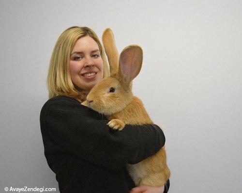 خرگوش غول پیکر به دنبال صاحب جدید!