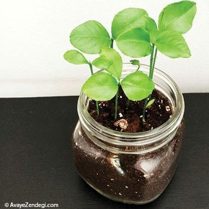 نهالهــــای کوچک؛ جایگزین سبزههای هفتسین!