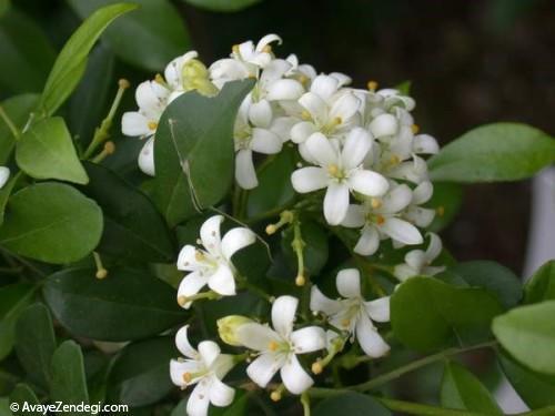 چند نمونه از گیاهان خانگی معطر