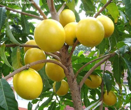 خصوصیات و شرایط محیط رشد درخت پوتریا کایمیتو